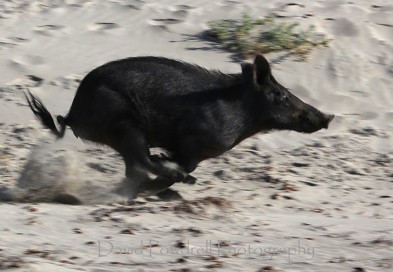 Wild boar taking flight next to me.