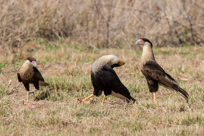 Crested Caracara - head throw (a mating display) - Laguna Seca Ranch-Edinburg, TX