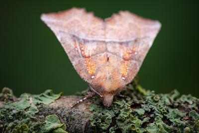 Scoliopteryginae