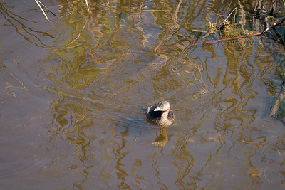 03_Everglades - Pie-Billed Grebe