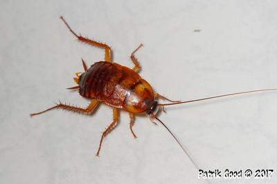 Grill-roast Cockroach
