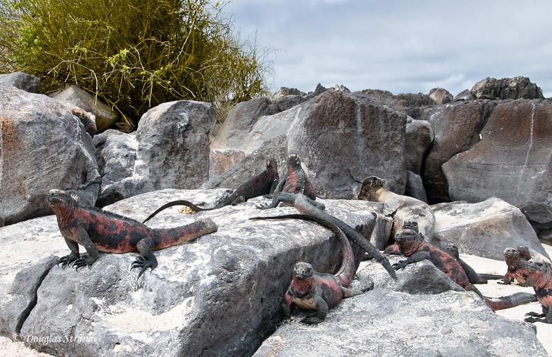 Marine Iguanas at Punta Suarez, Espanola Island