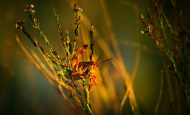 Grasshoppers 67.jpg