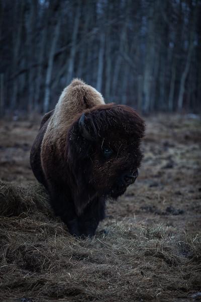 AHP171212_buffalo1414.jpg