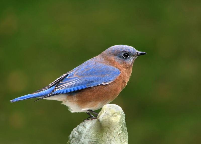 bluebird_3371.jpg