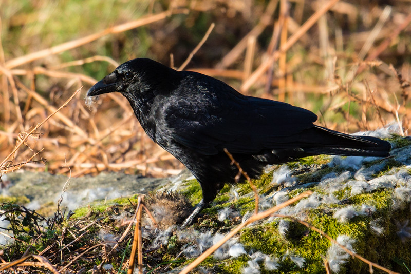 Carrion Crow with Carrion