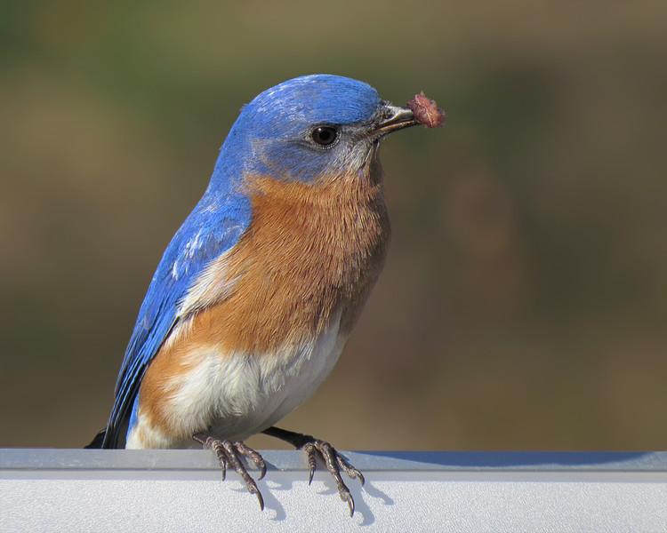 sx50_bluebird_689.jpg