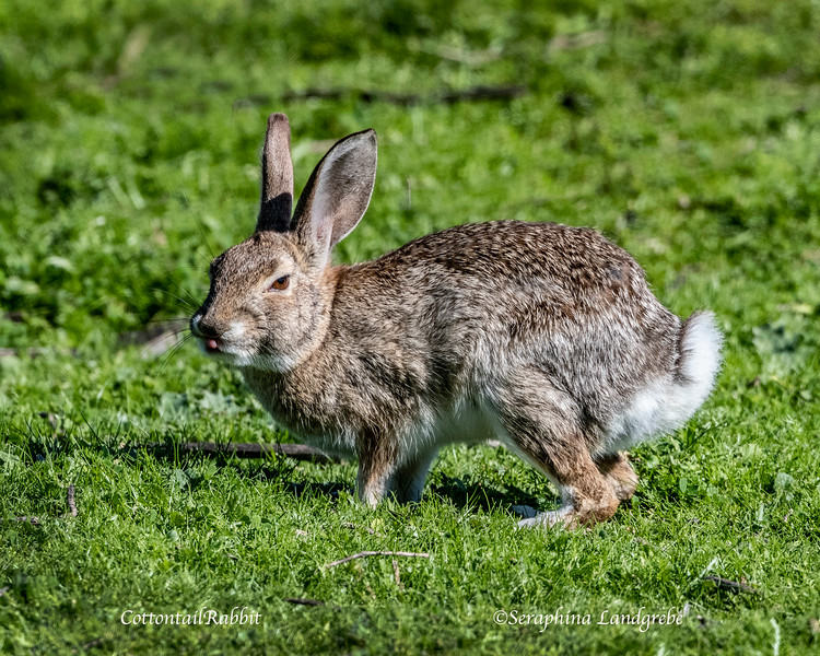 _DSC6031Cottontail Rabbit.jpg