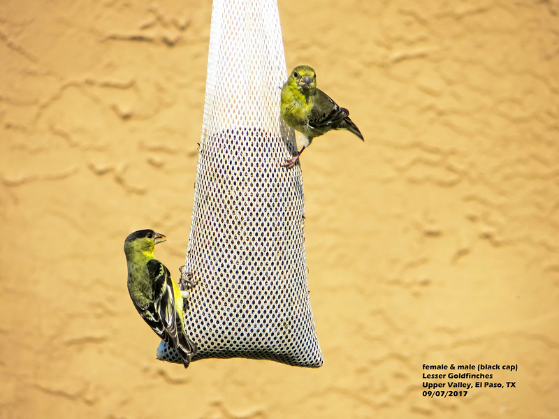 IMG_8696 3T fm ml Lesser Goldfinches seed sock.jpg