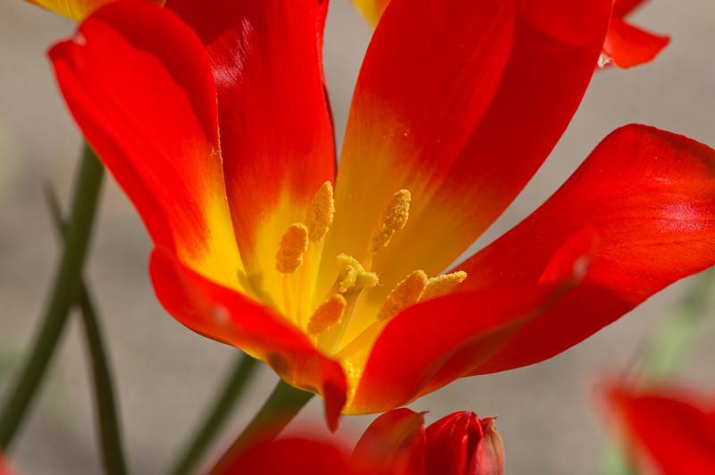 Tulipa vvedenskyi Botschantz.