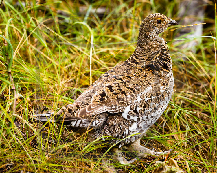 Ruffled Grouse
