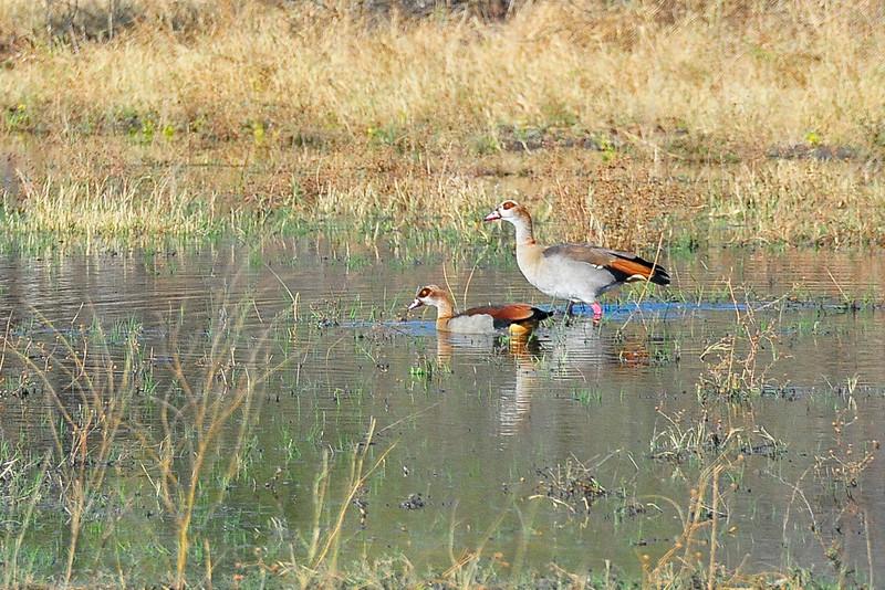 EPV1300 Egyptian Geese.jpg