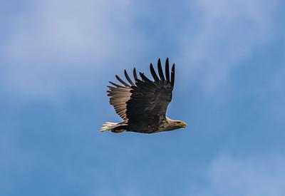 White-tailed Sea-eagle [Haliaeetus albicilla]