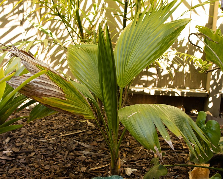 Pritchardia and other plants 3/2016