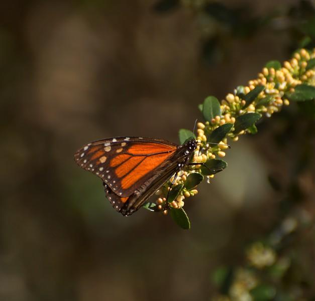 Monarch in Deer Lake State Park, FL