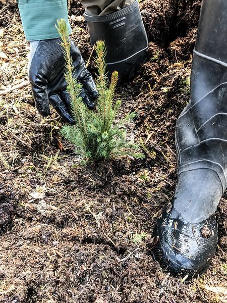 tree planting FOSZB Warren Nelson Bog Blue Spruce Road Sax-Zim Bog MN IMG_6809.jpg