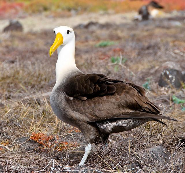 Albatross at Punta Suarez, Espanola Island