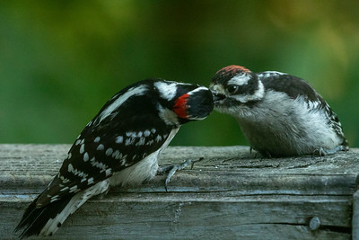 2021 05 Woodpeckers