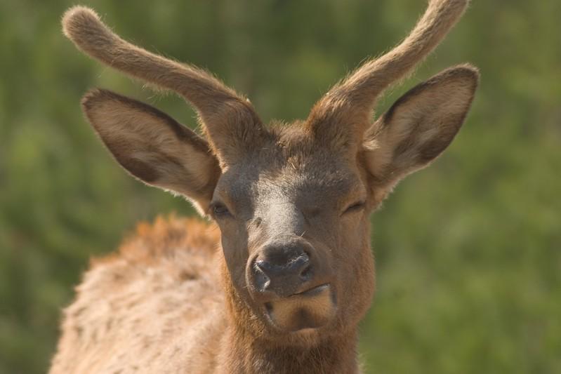 Elk Young Bull Winking Yellowstone 762_6284.jpg