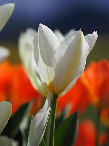 Tulips14.jpg
