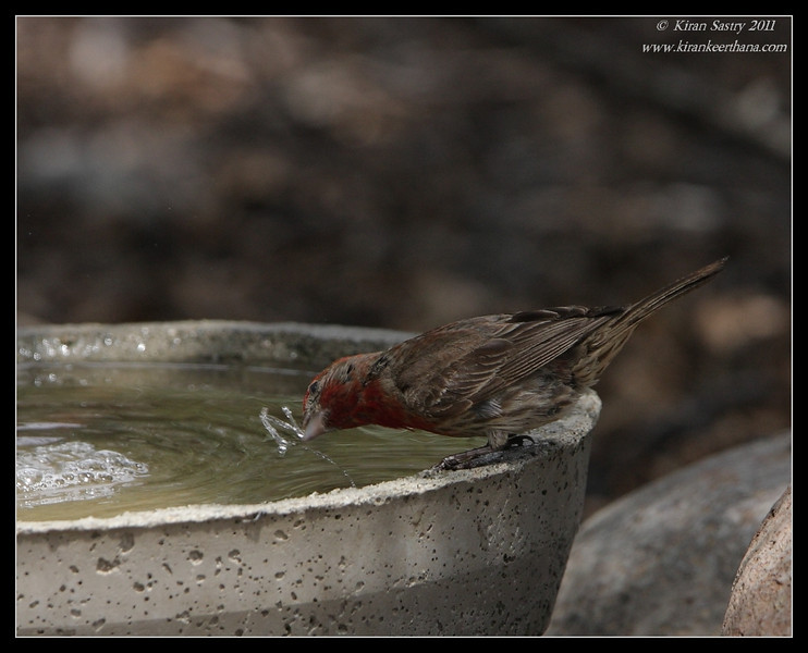 House Finch taking a sip, The Drip, Cabrillo National Monument, San Diego County, California, June 2011
