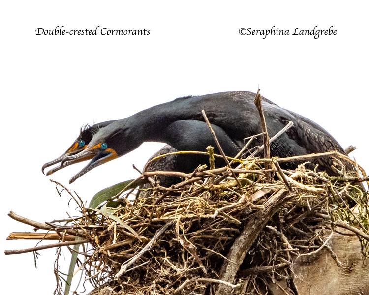 _DSC0256Necks Double-crested Cormorants.jpg