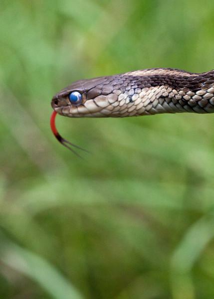 Moulting Garder Snake