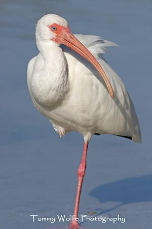 Ibis, White