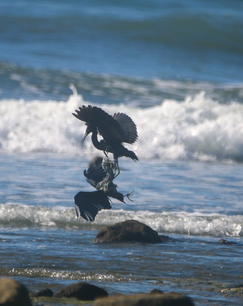 heron fighting in the water