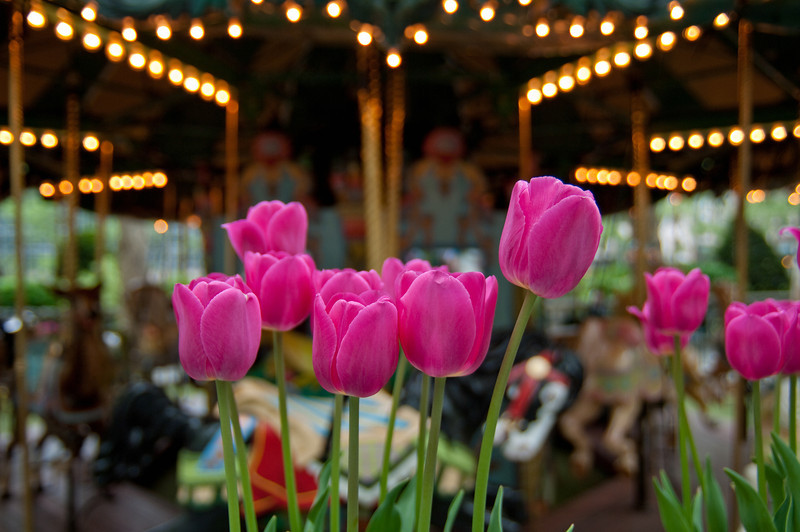 Have you been getting out?  This is a photo of some pink tulips in front of a Merry go round.  Here are some nice photos of Tulips and tulip festivals: Tulips on Smugmug Tulips on Flicker  I'll need to visit Oregon some time, they have plenty to see.