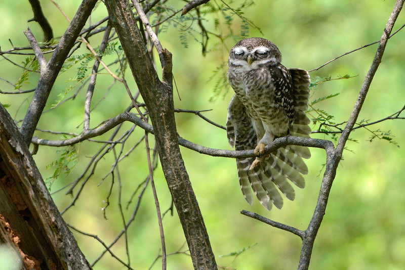 Spotted-Owlet-Yogic-Pose.jpg