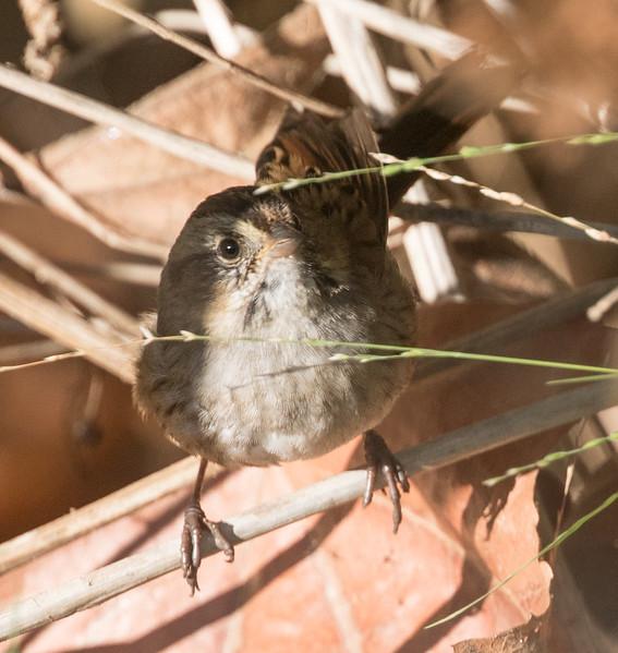 Swamp Sparrow Encinitas 2017 10 15-4.CR2
