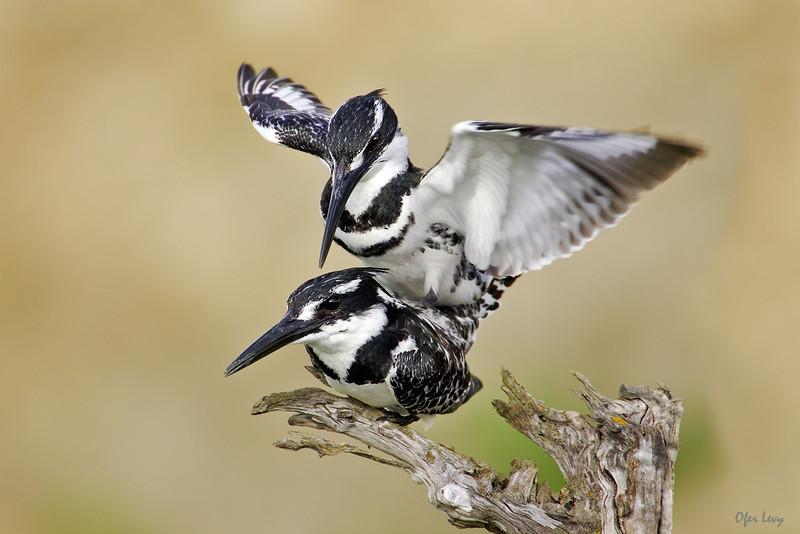 Pied Kingfishers mating 2 MASTER.jpg