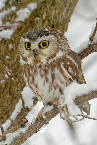 Owl - Northern Saw-whet - (captive) - Houston, MN - 01