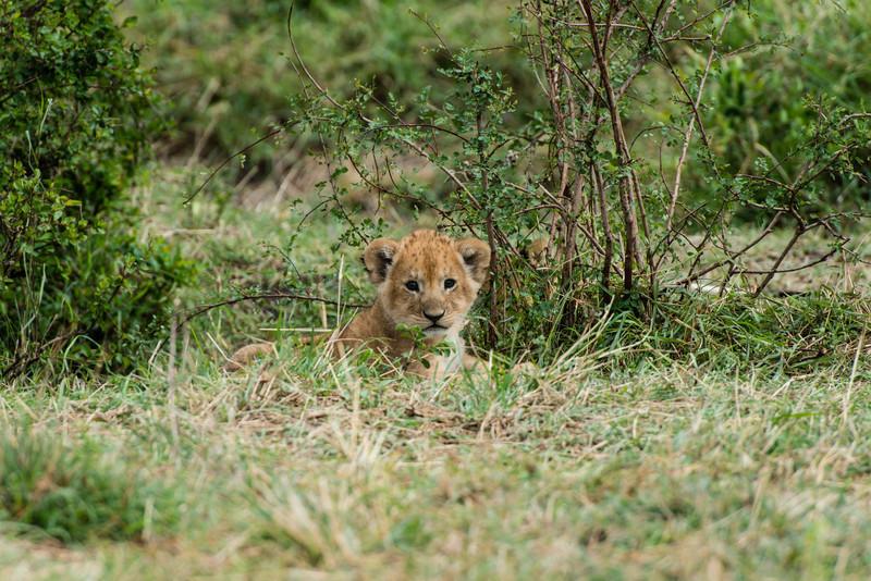 Lion Cub, Serengeti