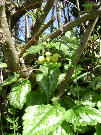 Yellow Archangel (Lamium galeobdolon)