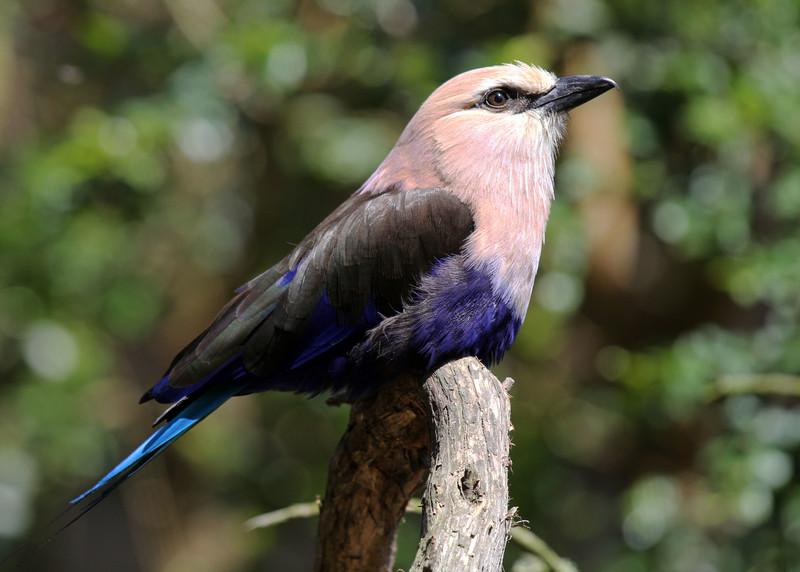 BLUE BELLIED ROLLER - SENEGAL