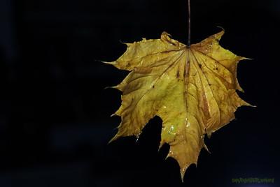 2007 Dead Leaves
