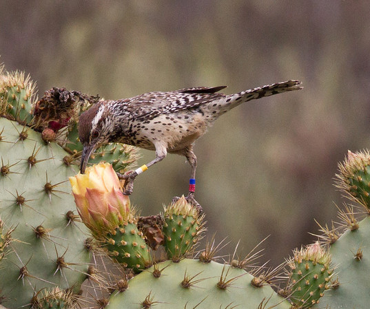 Cactus Wren Campylorhynchus brunneicapillus