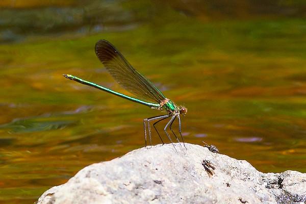 New Jersey Dragonflies