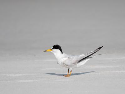 Least Terns 6 July 2021
