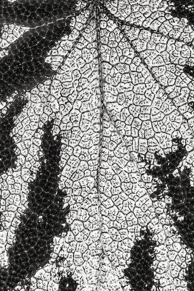 rex begonia leaf detail