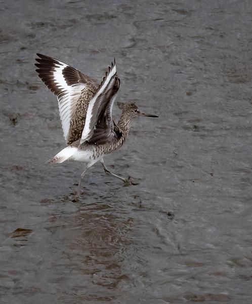 Willet take off
