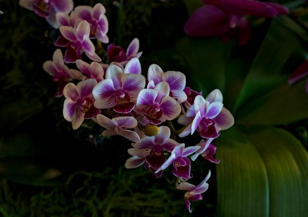 Santa Barbara International Orchid Show 2019