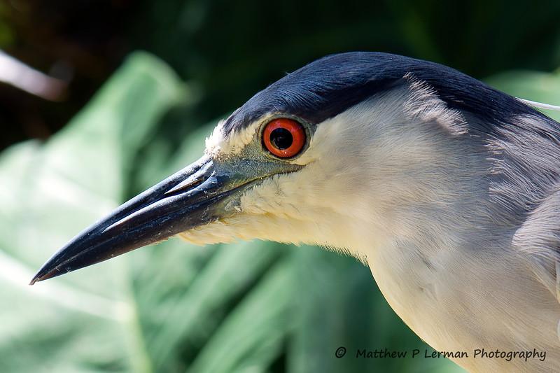 425 Black Crowned Night Heron 2086.jpg