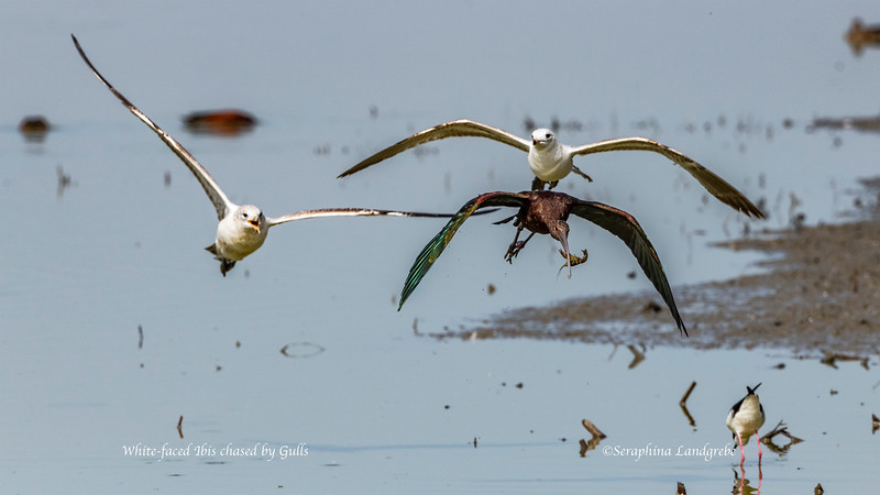 _DSC3171gulls chase White-faced ibis & Crawfish.jpg