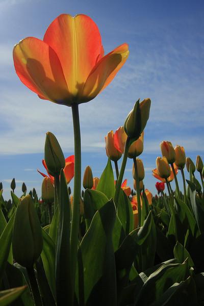 Tulips 08 023.JPG