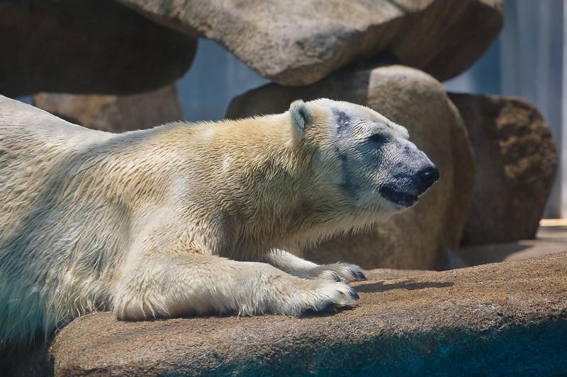 Polar Bear, Singapore Zoo