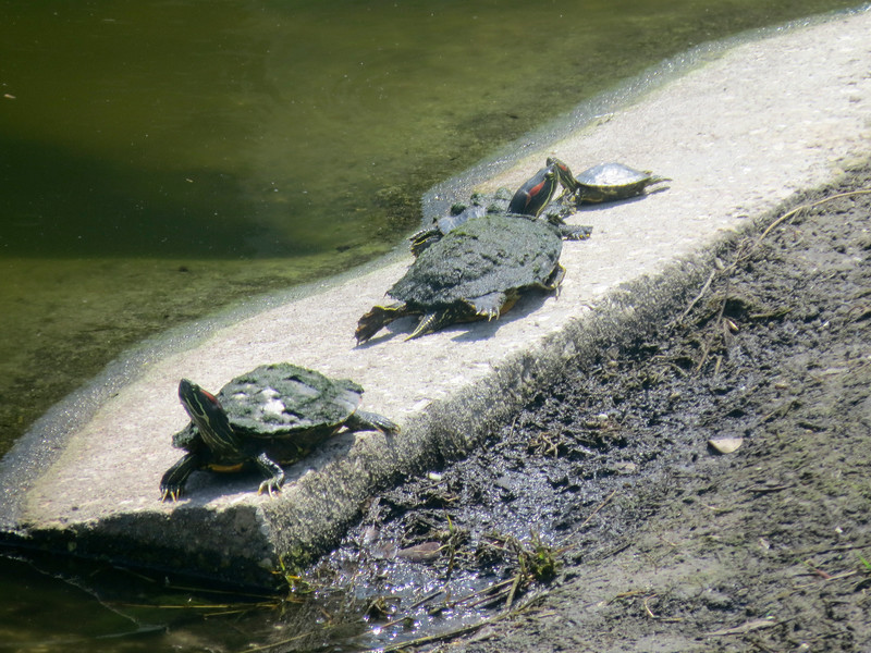 6_24_19 Family of turtles.jpg