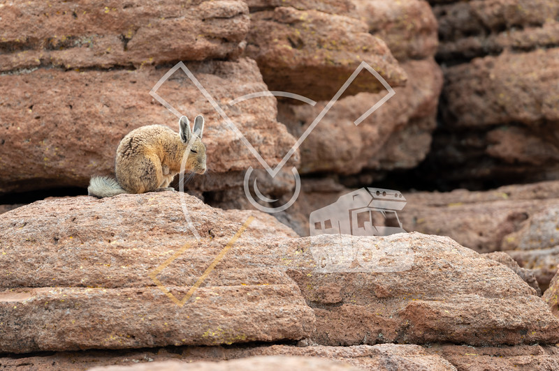 Southern Viscacha in its typical rocky high altitude territory at Eduardo Avaroa Andean Fauna National Reserve